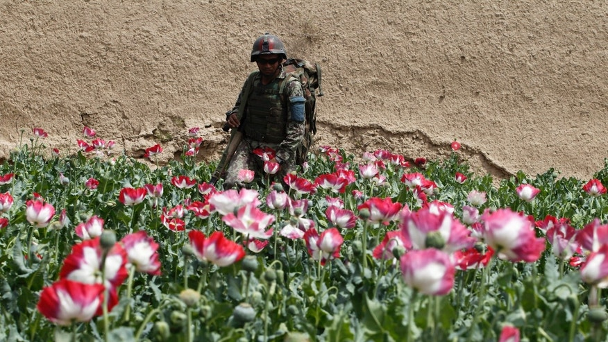 April 7, 2012: An Afghan army soldier walks through a poppy field during a joint mission with U.S. army soldiers in Kandahar province.