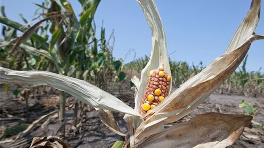 FILE: Aug. 16, 2012: Drought-damaged corn is seen in a field near Nickerson, Neb.