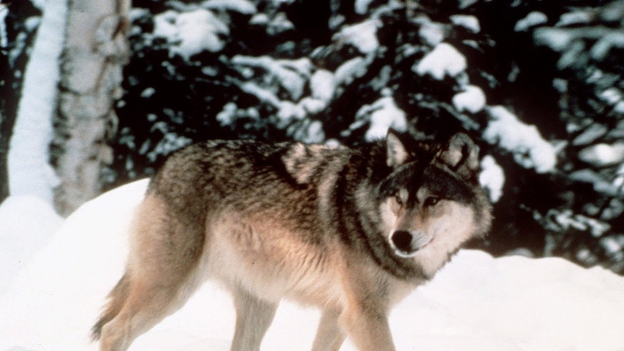 Aug. 31, 2012: This image provided by Yellowstone National Park shows a wolf walking through the snow in Yellowstone National Park in Wyoming. U.S. Fish and Wildlife Service is expected to announce that it is ending protections for wolves in Wyoming.