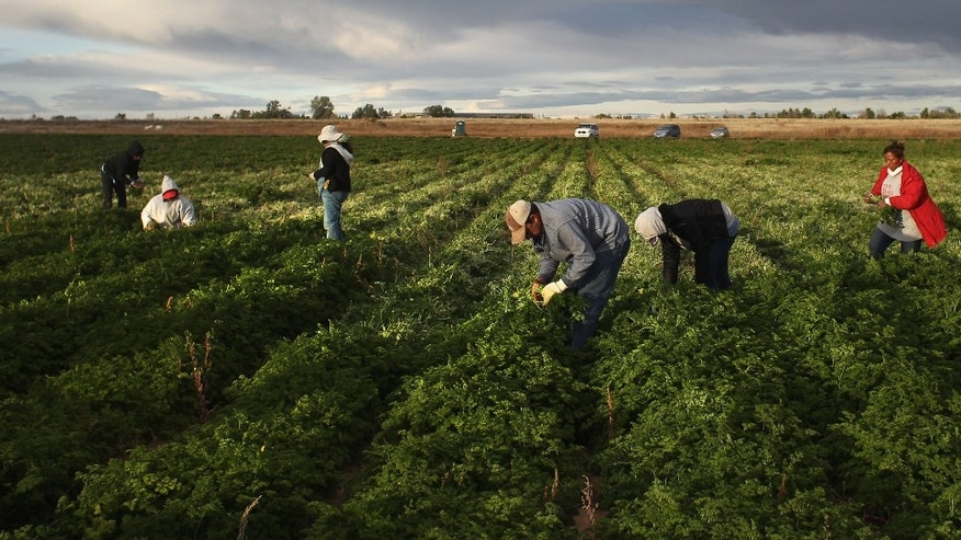 "WELLINGTON, CO - OCTOBER 11:  Mexican migrant workers harvest organic parsley at Grant Family Farms on October 11, 2011 in Wellington, Colorado. Although demand for the farm's organic produce is high, Andy Grant said that his migrant labor force, mostly from Mexico, is sharply down this year and that he'll be unable to harvest up to a third of his fall crops, leaving vegetables in the fields to rot. He said that stricter U.S. immigration policies nationwide have created a ""climate of fear"" in the immigrant community and many workers have either gone back to Mexico or have been deported. Although Grant requires proof of legal immigration status from his employees, undocumented migrant workers frequently obtain falsified permits in order to work throughout the U.S. Many farmers nationwide say they have found it nearly impossible to hire American citizens for seasonal labor-intensive farm work.  (Photo by John Moore/Getty Images)"
