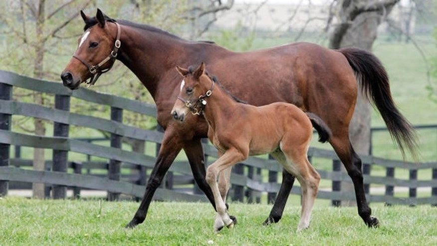 La Ville Rouge and her foal run in a paddock at Mill Ridge farm near Lexington, Ky., Wednesday, May 2, 2007. The foal is a two-week-old full brother to last year's Kentucky Derby winner Barbaro. (AP Photo/James Crisp)
