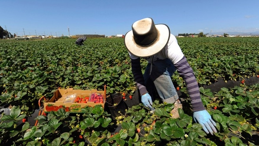 FILE: April 16, 2013: A field worker picks strawberries in Oxnard, California.