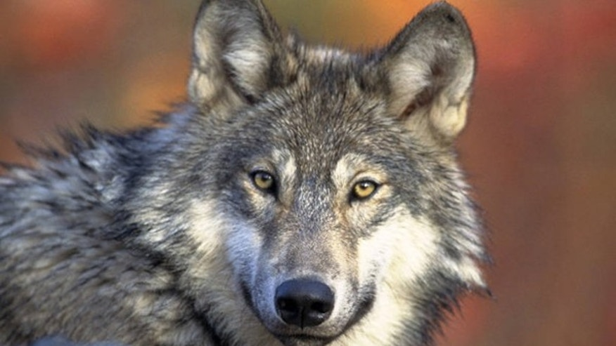 In this April 18, 2008, file photo provided by the U.S. Fish and Wildlife is a gray wolf, the species that would lose federal protection in most of the Lower 48 states under a proposal made in June, 2013, by wildlife officials.