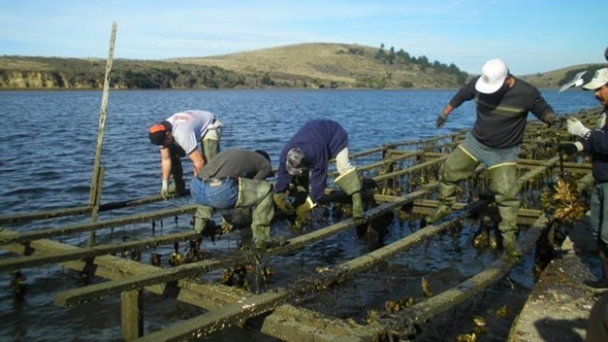 Employees harvest oysters at Drakes Bay Oyster Company, which produces nearly 460,000 pounds of shucked oysters annually and employs 30 people.