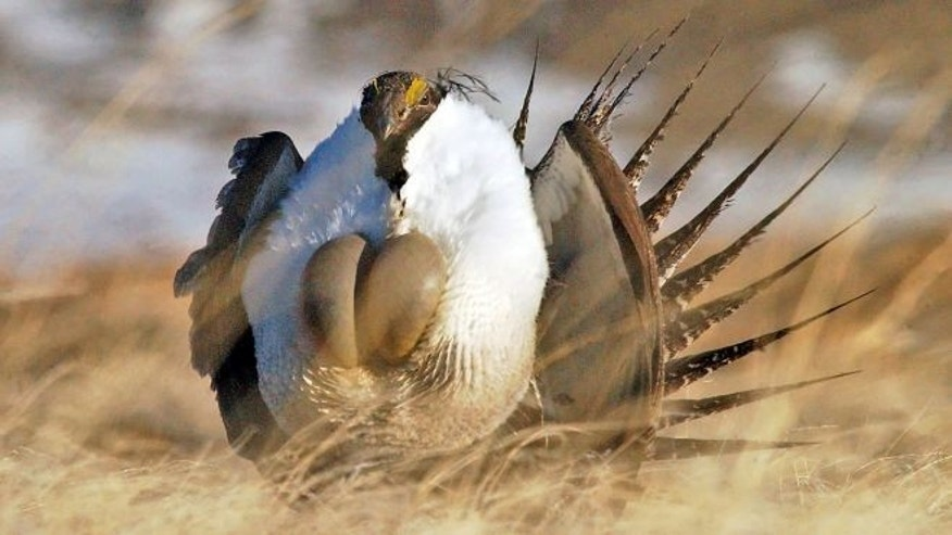 "FILE: April 15, 2008: A male sage grouse performs his ""strut"" near Rawlins, Wyo. Miners, ranchers and others that operate on public lands have opposed proposed protections for the species as an economic disaster."