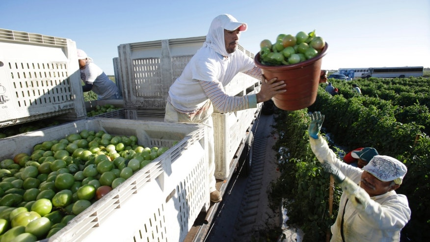 Farmworker in Florida loads tomatoes on a truck from a second harvest of tomato plants.