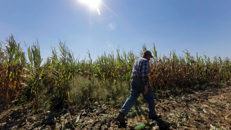 Larry Hasheider walks along one of his corn fields on his farm in Okawville, Ill.