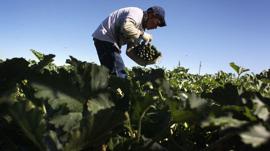 A migrant farm worker from Mexico harvests organic zucchini while working at the Grant Family Farms on September 3, 2010 in Wellington, Colorado. (Photo by John Moore/Getty Images)