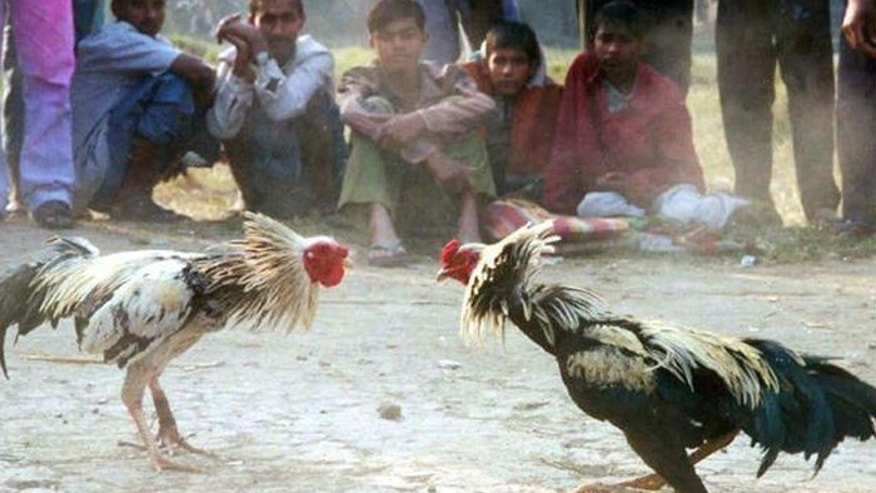 A Louisiana lawmaker insists their is a humane version of cockfighting - chicken boxing. (AP)