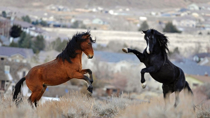 Jan. 13, 2010: In this file photo, two young wild horses play while grazing in Reno, Nev.