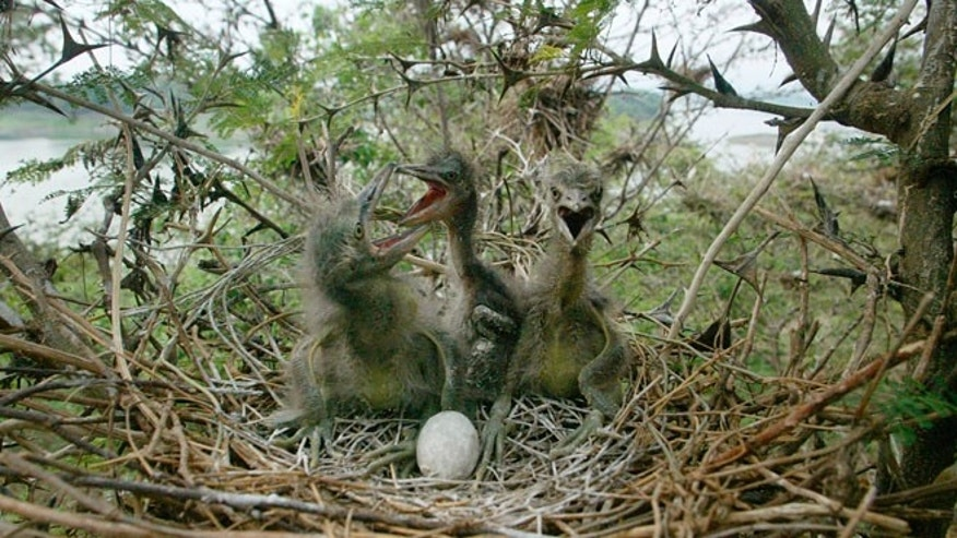 Night Heron chicks in a nest.