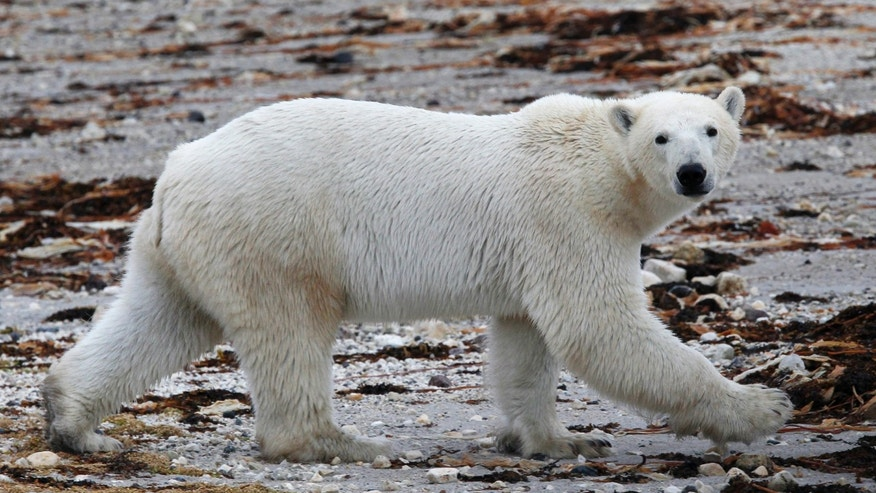 August 23, 2010: A polar bear walks along the shore of Hudson Bay near Churchill, Manitoba.
