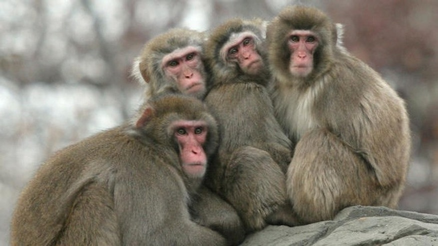 Four snow monkeys huddle together on a cold winter day, Thursday, Dec. 15, 2005 at the Central Park Zoo in New York.   (AP Photo/Mary Schwalm)