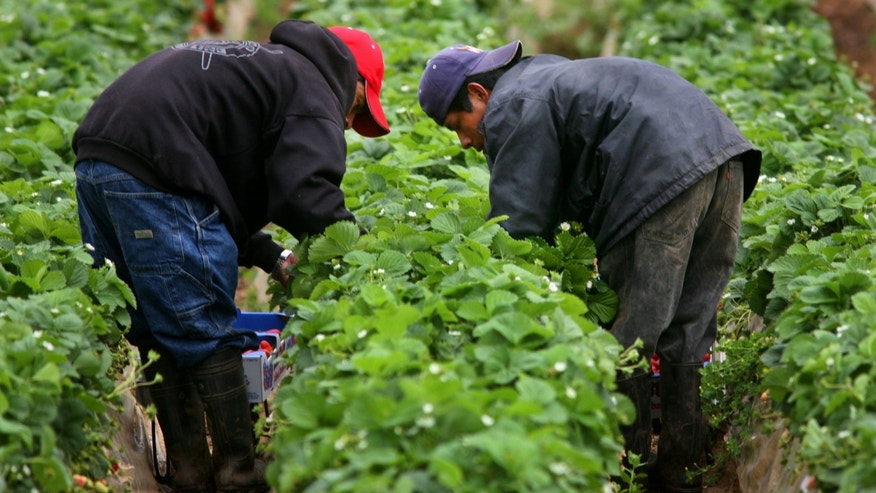 CARLSBAD, CA - APRIL 28:  Hispanic farmworkers harvest Strawberries at a farm April 28, 2006 in Carlsbad, California. The debate in Washington continues over whether to create a temporary guest-worker program for immigrants wishing to find work in the United States.  (Photo by Sandy Huffaker/Getty Images)