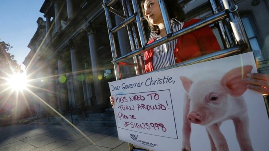 "Oct. 27, 2014: Sarah Swingle, of Charleston, S.C., with the Humane Society of the United States, stands immobilized in a human-sized ""gestation crate,"" in front of the Statehouse, in Trenton, N.J. (AP)"