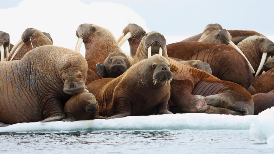 July 17, 2012: Adult female walruses on an ice flow with young walruses in the Eastern Chukchi Sea, Alaska.