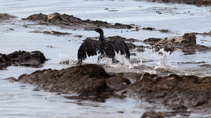 May 21, 2015: File photo, an oil-covered bird flaps its wings at Refugio State Beach, north of Goleta, Calif.