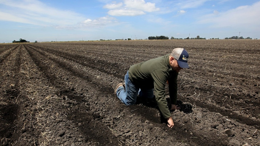 May 18, 2015: Gino Celli, who relies on senior water rights to water his crops, checks the moisture of land just planted with corn seed he farms near Stockton, Calif.