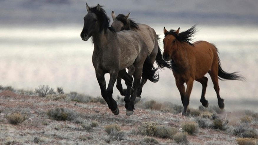 Feb. 26, 2015: Several wild horses escape the Bureau of Land Management (BLM) gather trap along Highway 21 near the Sulphur Herd Management Area south of Garrison, Utah. (Reuters)