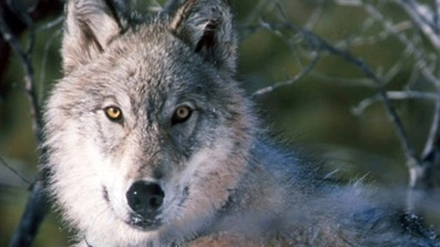 This file photo shows a gray wolf watching biologists in Yellowstone National Park in Wyoming. (AP/U.S. Fish and Wildlife Service