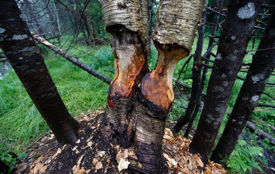 FILE - In this Aug. 4, 2015 file photo, birch trees show signs of beaver activity on woodland proposed for a national park in Penobscot County, Maine. President Barack Obama on Wednesday, Aug. 24, 2016 declared a new national monument in Maine on 87,000 acres donated by Roxanne Quimby, fulfilling the conservationist's goal of gifting the land during the 100th anniversary of the National Park Service. (AP Photo/Robert F. Bukaty, File)
