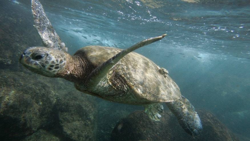 A green sea turtle is seen off the coast of Oahu, Hawaii.