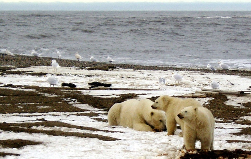 A polar bear sow and two cubs are seen on the Beaufort Sea coast within the 1002 Area of the Arctic National Wildlife Refuge in this undated handout photo provided by the U.S. Fish and Wildlife Service Alaska Image Library on December 21, 2005.  U.S. Fish and Wildlife Service/Handout via REUTERS  ATTENTION EDITORS - THIS IMAGE WAS PROVIDED BY A THIRD PARTY. EDITORIAL USE ONLY - RTSSOZO