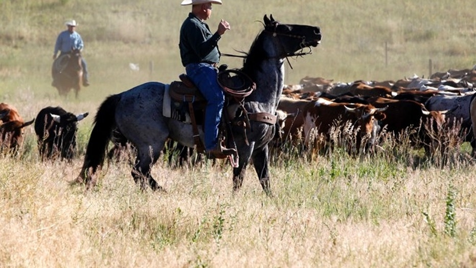 A cowboy and his horse during a cattle drive on July 16, 2017 in Cheyenne, Wyo.
