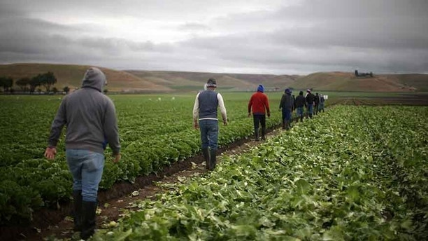 "Migrant farmworkers with H-2A visas walk to take a break after harvesting romaine lettuce in King City, California, U.S., April 17, 2017. REUTERS/Lucy Nicholson  SEARCH ""H-2A NICHOLSON"" FOR THIS STORY. SEARCH ""WIDER IMAGE"" FOR ALL STORIES. - RTX35U3X"