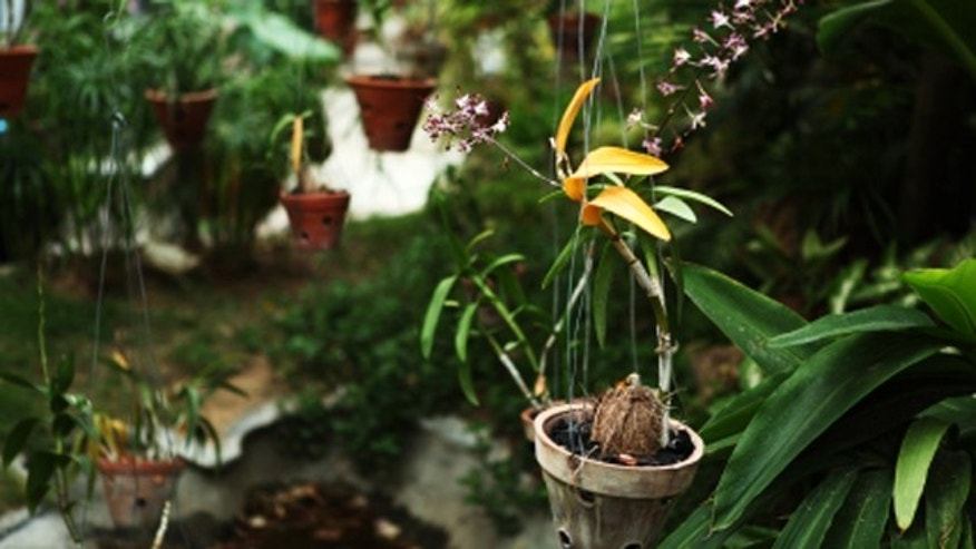 Hanging Orchid Plants in Garden of Bungalow