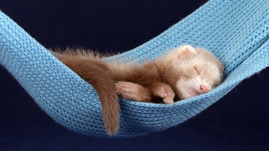 Tired ferret