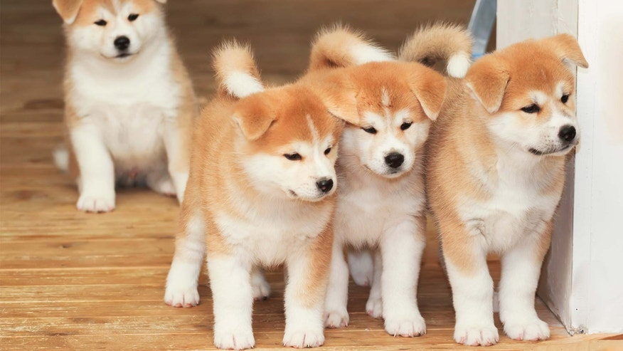 One Akita, two Akita, three Akita... NO. While they're cute now, Akitas grow into strong, dominant dogs.