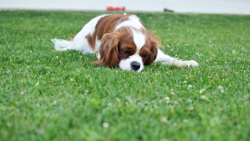 sick pet in yard; ways your yard can kill your pet
