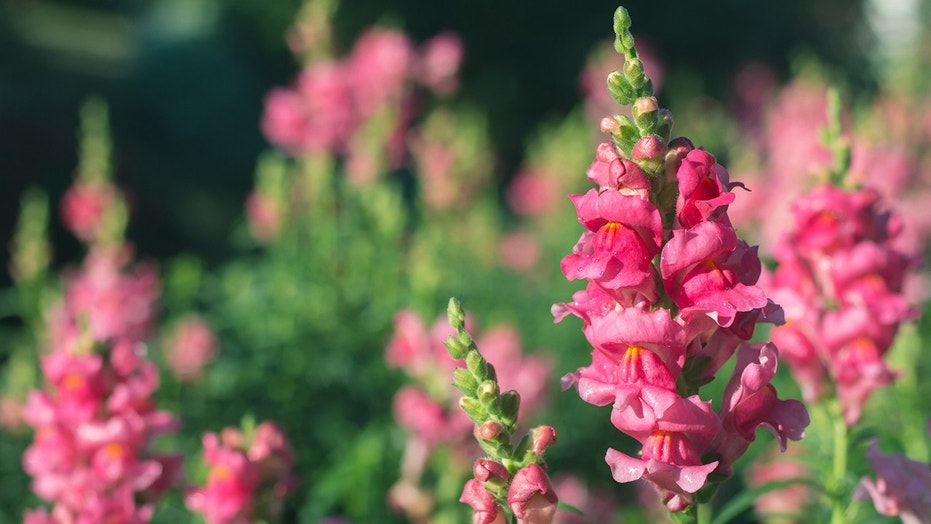 A fresh flower garden — especially with a self-seeding annual like a snapdragon — is a great way to welcome the warmer weather.