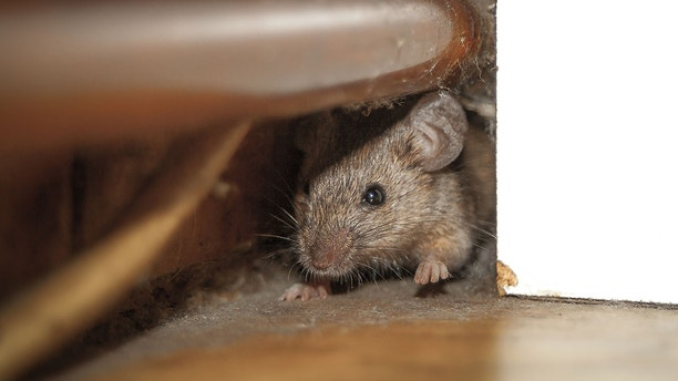mouse under stove istock