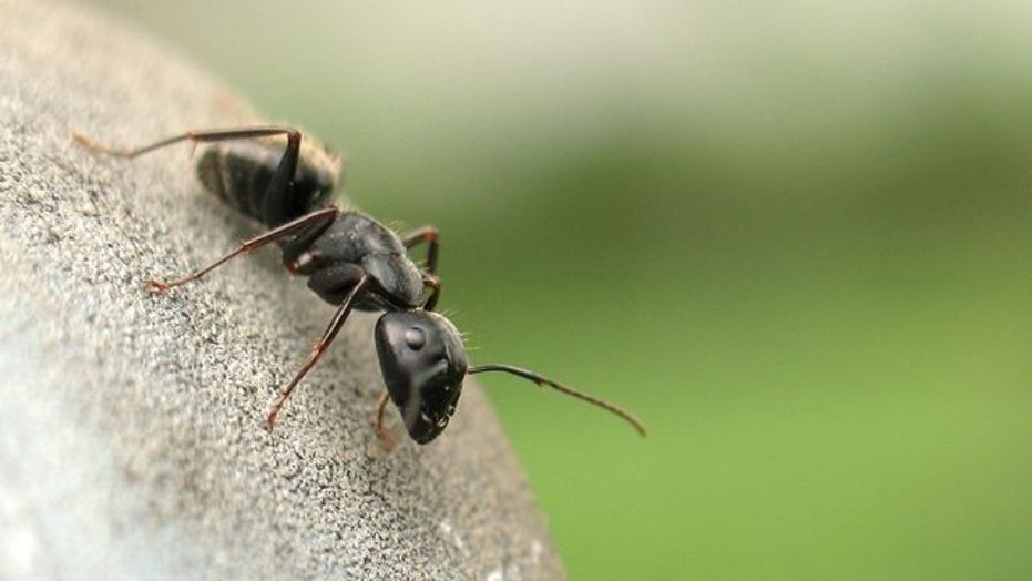 ant-on-fence