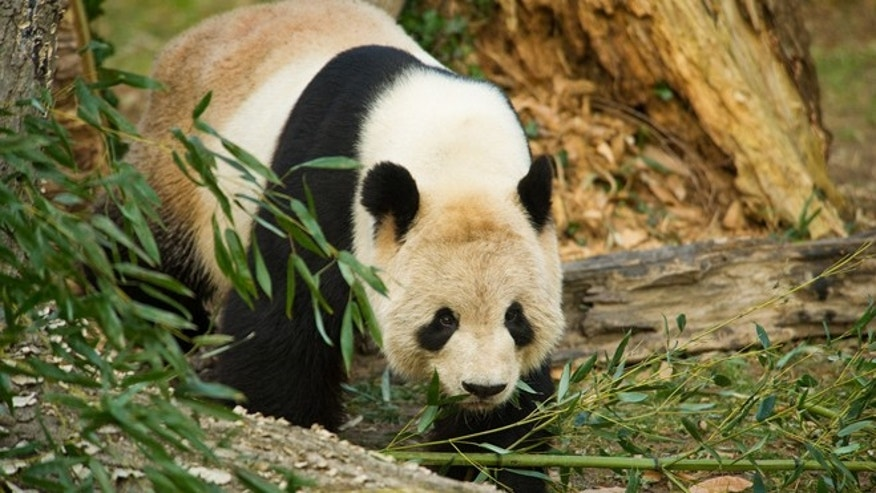 Jan. 6, 2012: The Smithsonians National Zoo giant panda Mei Xiang prowls, monitored via webcam by scientists carefully studying her health.