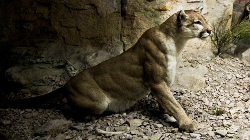 Sept. 27, 2012: A restored diorama depicting a mountain lion appears on display at the American Museum of Natural History in New York.