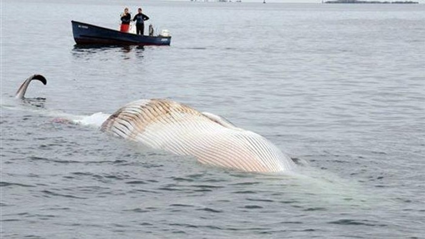 The whale will be more closely examined once it washes ashore. (AP/The New England Aquarium)