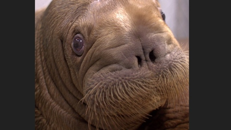 Sept. 2012: Baby walrus Mitik is seen at the Alaska SeaLife Center in Seward, Alaska.
