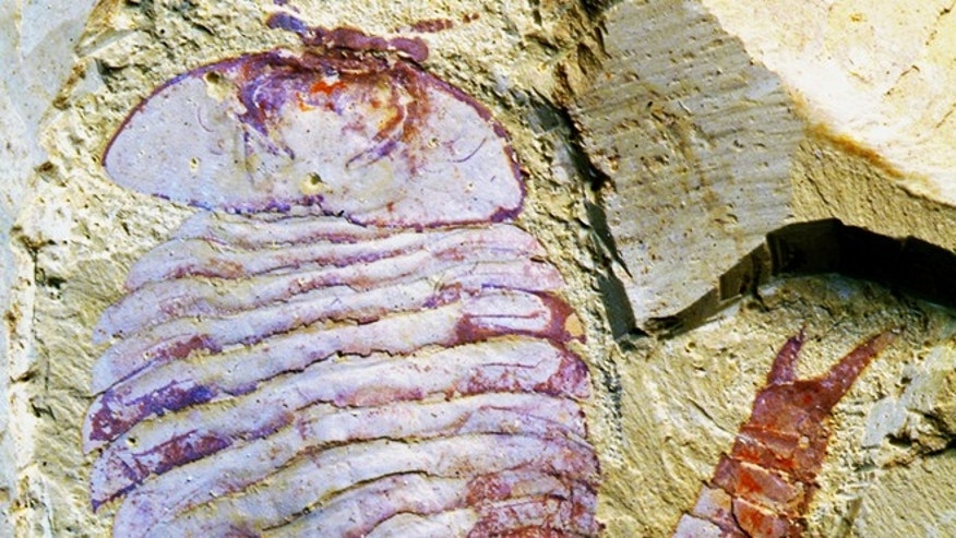 Fuxianhuia protensa, a 520 million-year-old fossil from China discovered to contain a preserved brain.