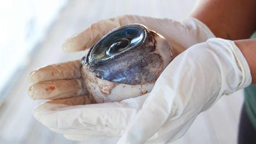 State wildlife officials are trying to determine the species of a blue eyeball found by a man Wednesday at Pompano Beach, north of Fort Lauderdale.