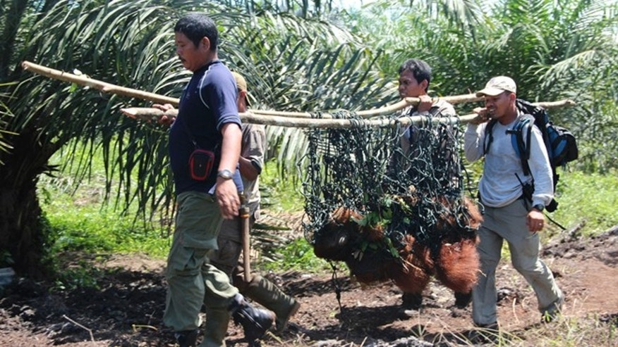 Oct 14, 2012: Staff of Sumatran Orangutan conservation Programme carry Seuneam male Orangutan after he was trapped for several days in a forest surrounded by palm oil plantations, in Nagan Raya, Aceh, Indonesia.