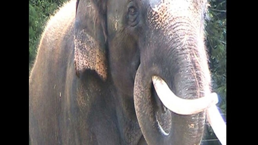 Nov. 1, 2012: An Asian elephant named Koshik can imitate human speech, speaking words in Korean that can be readily understood by those who know the language. The elephant accomplishes this in a most unusual way: he vocalizes with his trunk in his mouth.