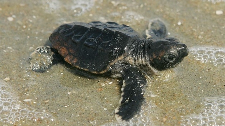 July 31, 2009: A baby loggerhead turtle makes its way to the ocean from the nest in Cape Romain National Wildlife Refuge in South Carolina.