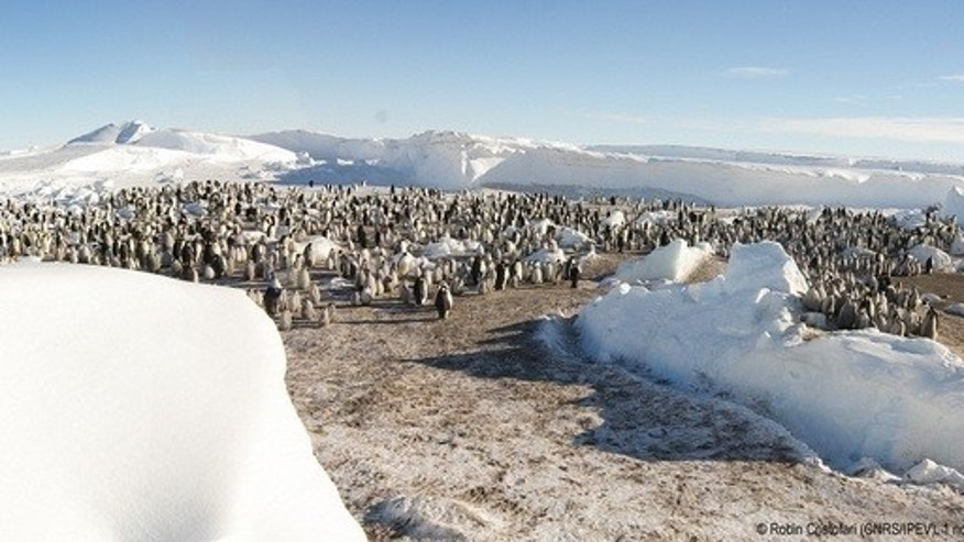 One of the new emperor penguin colonies observed by French researchers on Nov. 1, 2012.