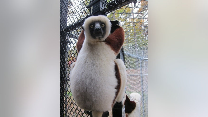 Sifaka lemurs are expert climbers, as this resident of the Duke Lemur Center demonstrates.