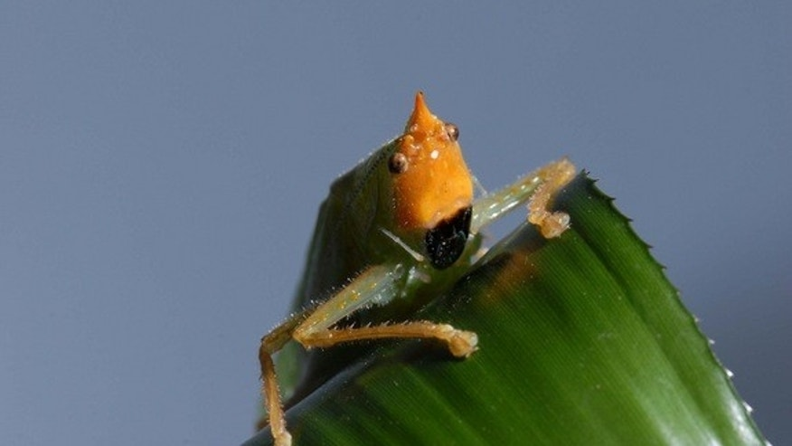 <i>Copiphora gorgonensis</i>, a South American katydid found to have remarkably human-like ears in a study released Nov. 16 in the journal Science.