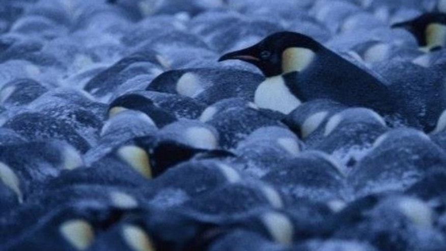 Penguins in a colony pack extremely tightly together, but still shuffle around without crushing anyone.