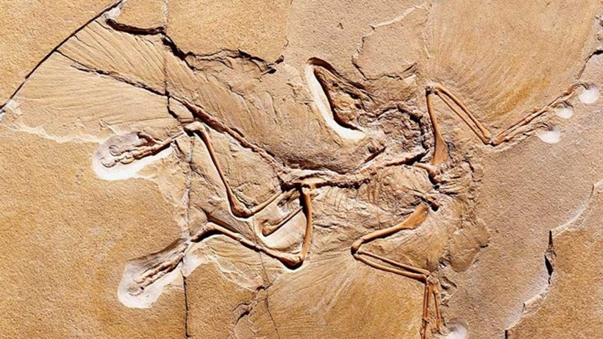 An Archaeopteryx fossil discovered in Germany.